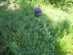 İlim İlmek: Köyün Vahşi Bitkileri sütlükengel, sütlü kengel, devedikeni, egede bitkiler çalılar çiçekler