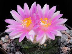 Ariocarpus fissuratus – Living Rock Cactus, False Peyote, Star Rock - See more at: http://worldofsucculents.com/ariocarpus-fissuratus-living-rock-cactus-false-peyote-star-rock/