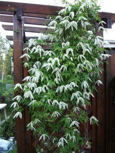 clematis sibirica 'riga'. Zon 7 Vit småblommig med enkla blommor. En av de härdigaste; zon 7