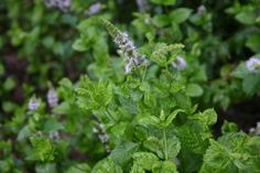 Cooling mint facial mist, mint hair rinse, mint foot soak  - and click here for link to essential oil - not able to pin it - http://www.gardensablaze.com/HerbOintment.htm