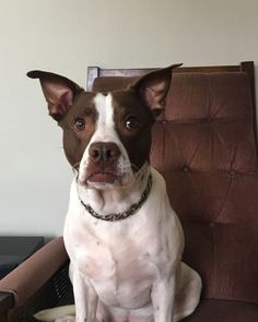 They say experience is the teacher of all things, and who knows this better than our dogs? We want the best experience for our pups, one that will teach them loyalty and companionship. Big Dogs, Large Dogs, Gold Dog Collar, Luxury Dog Collars, Dog Life, Boston Terrier, Your Dog, Pup, Hardware