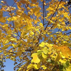 Saturday walk!  [totally in love with these yellow leaves! ] #nofilter by monellechiti