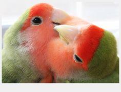 Rosy-faced Lovebirds - Twitter / @amigurumina