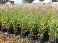 Miscanthus sinensis 'Purpurascens' Grass, Flame from Kankakee Nursery