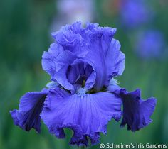 """Sixty years ago Johnny Cash sang in 'Home of the Blues' of a place filled with sweetest mem'ries."""" Blues have been a favorite of ours for 60 years and. Flower Garden Plans, Iris Garden, Flowers Garden, Blue Iris Flowers, Perfect Beard, Special Flowers, Awesome Beards, Bearded Iris, Planting Bulbs"""