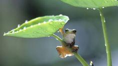 Green Leaf Frog - Desktop Nexus Wallpapers