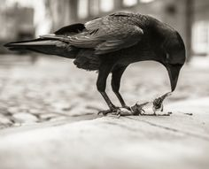 Chris Skaife, Master Raven Keeper at the Tower of London, & Merlin the Raven