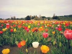 Blooms to Brews in Woodland WA on April 21st brought to you by Get Bold Events. Have fun with this Run!