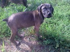 Zander is an adoptable Cane Corso Mastiff Dog in Newark, DE. Zander is a handsome 4 1/2 month old Corso pup who needs someone to love! He is very sweet and a little shy at first meeting. Zander needs ...