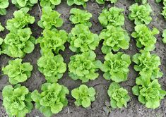 Most of the vegetables and herbs that grow in shade are roots crops or leafy. Therefore, fruit produ Growing Lettuce, Growing Veggies, Planting Vegetables, Vegetable Gardening, Shade Tolerant Plants, Succession Planting, Garden Games, Crop Rotation