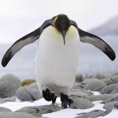 Happy Feet Penguin Day, King Penguin, Emperor Penguin, Cute Penguins, Wildlife, Happy, Nature, Animals, Birds