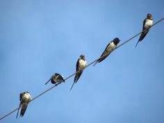 Swallows Mindanao, Mural Ideas, Swallows, Philippines, Garden, Pictures, Animals, Cagayan De Oro, Photos