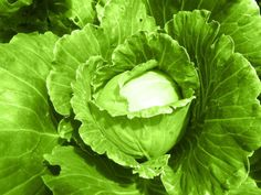 Cabbage  is very cold hardy. Stagger the planting so you can enjoy cabbage all winter.
