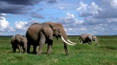 It is estimated that nearly 100 African elephants are slaughtered each day for their ivory. The poaching and illegal trade in ivory is driving elephant populations toward extinction.    With about 400,000 elephants remaining in Africa, strong action is needed now to save these animals.     Join us in...
