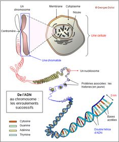 BioTop, transmission de la vie, le cyle cellulaire