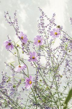 Flowers Perennials, Cosmos, Wild Flowers, Dandelion, Grass, Bloom, Nature, Plants, Beautiful