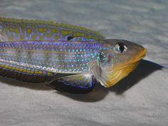 Xenotilapia [Enantiopus] sp. kilesa : Tanganyika