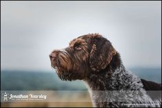 German Wirehaired Pointer By Jonathan Yearsley.