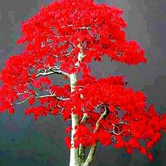 Maple Seeds Chinese Bonsai Maple Tree Seeds Bonsai Plants Trees for Flower Pot Planters, Item type: Mini Red Maple Bonsai Tree seedsRed Maple Bonsai Maple Tree, Maple Tree Seeds, Red Maple Tree, Japanese Red Maple, Tree Deck, Flower Pots, Flowers, Flower Tree, Christmas Tree Art