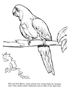 Macaw drawing and coloring page