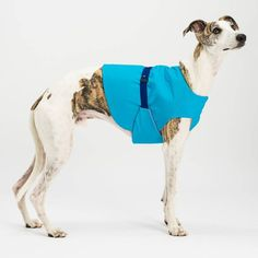 If I stand still do I get a cookie?  Kai #cooling in his turquoise Dogsnug cooling jacket. Available in all dog sizes and made of outer elegant ripstop inner airtex and an internal cooling layer to keep your dog cool in the summer months. Just dip in water to activate. Adjustable around the waist.  More colours avaialble in our online shop  photo by @pkoraca  #superdog #petsofinstaworld #instapup #lurchers #londondog #puppiesofinstagram #dog #salukis #sighthounds #Sighthound #whippet…