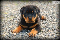 Meet Abby a cute Rottweiler puppy for sale for $800. ACA Rottweiler Puppy