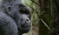 Oil companies want to drill in Virunga National Park, a World Heritage Site and home to critically endangered mountain gorillas. Stand with African Wildlife Foundation and take action today to ensure mountain gorillas have a safe space to call home. https://secure.awf.org/campaigns/stop-oil-exploration-in-virunga