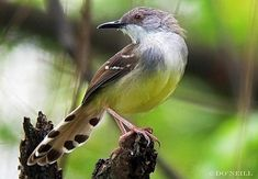 Bar-winged Prinia (Prinia familiaris) A perched bird seen at ornamental Mexican garden section during breeding season. Mexican Garden, Make You Smile, Birds, 1969 Music, Bali, Beautiful People, Tattoo Ideas, Island, Google Search