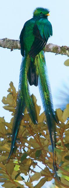 Quetzal | Guatemala | photograph by Thor Janson