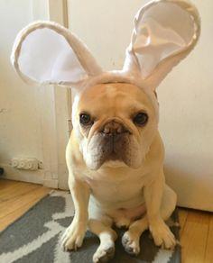 sigh  #grumpybunny #hoppyeaster by thedailywalter, French Bulldog in Bunny Ears ; )