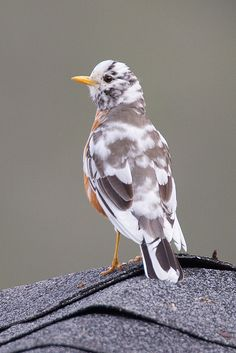 American Robin (leucistic) - (Leucism is a condition that affects birds' feathers and turns them pale or white.) There's a leucistic robin that hops around my neighbourhood every spring! Kinds Of Birds, All Birds, Little Birds, Birds Of Prey, Love Birds, Angry Birds, Pretty Birds, Beautiful Birds, Animals Beautiful