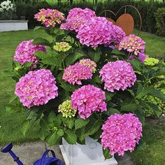 Hortenzie velkolistá 'Belle Seduction' Plants, Plant, Planets