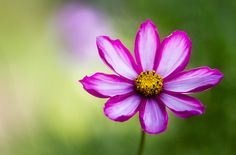 Steeler's birth flower, cosmos, which will also be incorporated in my half sleeve