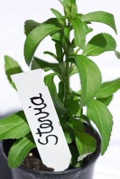how to grow and use the stevia plant
