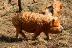 Kune Kune pig with a curly coat