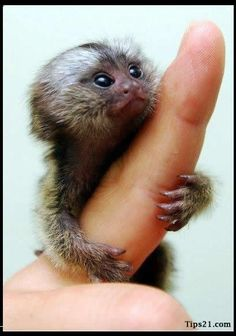 """This is a Pygmy Marmoset or a """"Finger Monkey"""" @Hila Aronson..this might be cuter than a cat."""