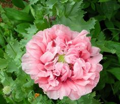 Peony Poppy Pink Ruffled Center Gorgeous 100 Seeds | eBay