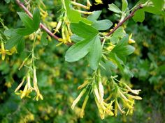 kultaherukka - Ribes aureum
