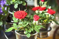 Útmutatás minirózsához: hogyan virágoztassuk újra?   Hobbikert.hu Plants, Rose, Garden