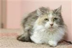 Penny is an adoptable Domestic Long Hair Cat in Easton, PA. Penny is a gorgeous medium to long-haired cat. She was abandoned in a box in front of the shelter with several other cats of which she might...