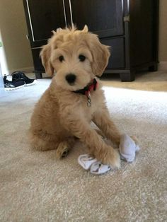 Zoey the Goldendoodle