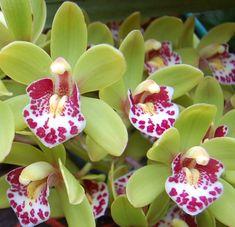 Cymbidium | Orchid - Cymbidium Green