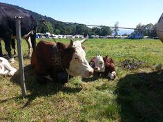 #cows #mountain  #oropa #alps