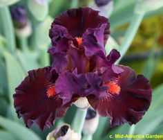 IB Iris germanica 'Crazy Over You' (Black, 2017)