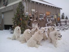 National Great Pyrenees Rescue