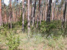 Pflanzaktion im Westwald / Umweltdezernentin Brigitte Lindscheid gibt Startsignal: Feldahorn und Kirsche für die Wiederbewaldung