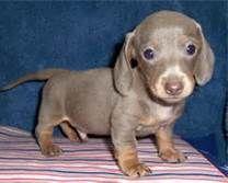 Hoobly: akc micro mini dachshund puppies (rare colors)
