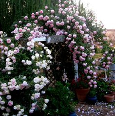 Pink climbing roses...I bought 2 white lady banks & planted them on opposite sides of the garden shed entry...now I just need a heavy duty trellis.