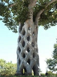 Living Tree Sculpture~Basket Tree By Axel Erlandson