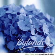 The Original Endless Summer® Bigleaf Hydrangea - Hydrangea macrophylla 'Bailmer' PP15298 PBRAF | Bylands Nurseries Ltd.